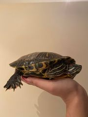 2 seltene Rotwangenschildkröten zu verkaufen