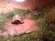 2 Glattrandgelenkschildkröten