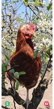 Suche Gartengrundstück für Hühnerhaltung zu