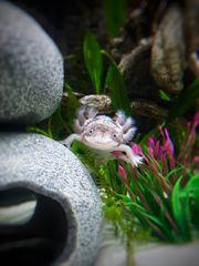 Eier vom Axolotl Mutter Wildling