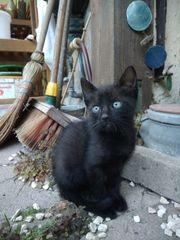Schwarze flauschige Katzenbaby