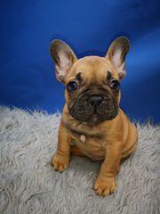Französische Bulldoge Welpe