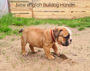 New english Bulldog Welpen