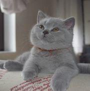 reinrassige Britisch Kurzhaar Kitten blau