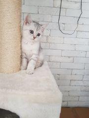 Reinrassige BKH Schottisch Fold Kitten
