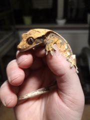Kronengecko Nachzuchten Correlophus ciliatus