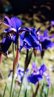 Wunderschöne zarte LILIE lila 10