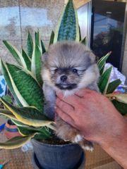 Reserviert Welpen Pomeranian Zwergspitzen zu