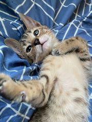 1 von 6 Kitten Bengal
