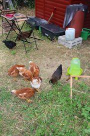 Hühnerstamm für Anfänger
