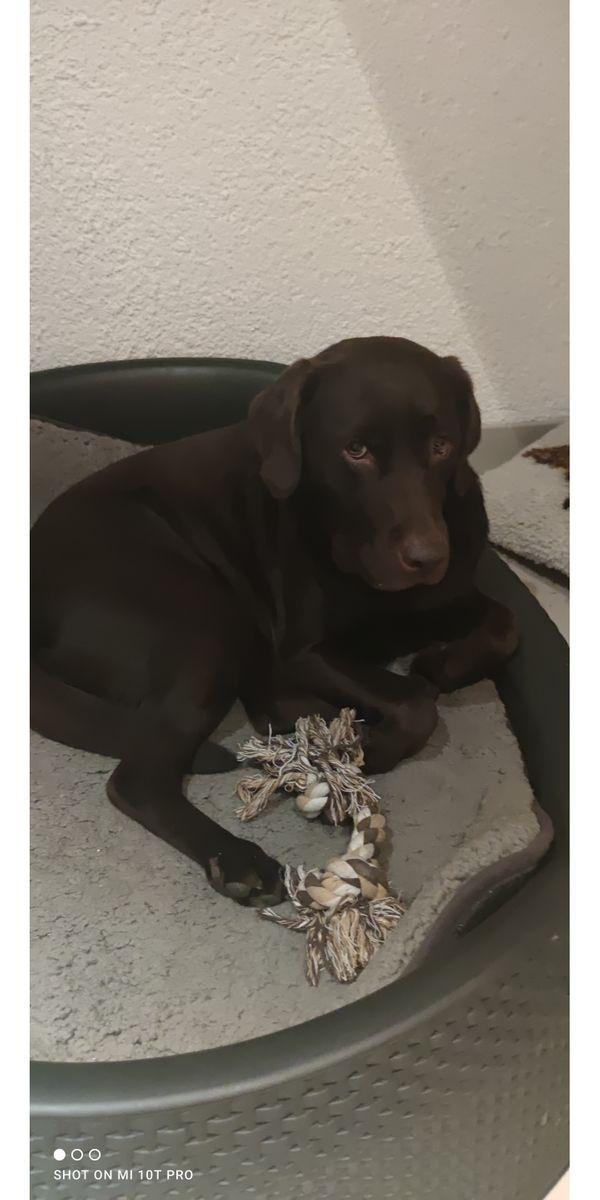 Liebe Labradorhündin schokobraun
