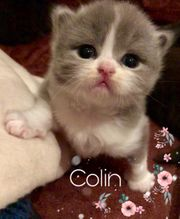 Baby Katzen abzugeben BLH