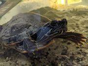 Gelbwangen Schmuckschildkröte