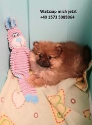 Süße Pomeranian Welpen zu verkaufen