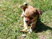 Unsere Chihuahua Babys dürfen ausziehen