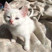Schneeweiße Kitten Birma Schotten Mix