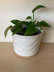 2x Pflanze - Efeutute inkl Übertopf