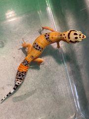 Superschöne Leopardgeckos abzugeben