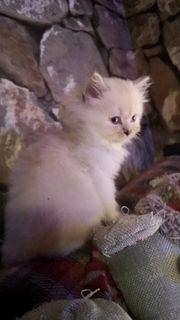 Perser-Britisch Langhaar Kitten