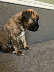 Boxer Welpe