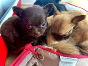 Chihuahua Welpen dürfen ab sofort