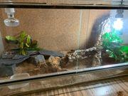 Leopardgecko Gruppe mit Terrarium