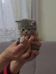 kitten bkh mix persich
