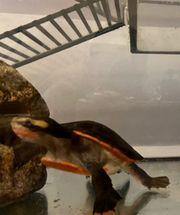 Rotbauch-Spitzkopfschildkröten Paar mit Aquarium