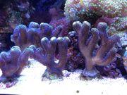Meerwasser korallen Ableger SPS