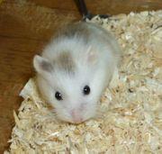 Gescheckter Zwerghamster männlich junger Hamster