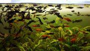 Spitzmaulkärpflinge Antennenwelse Blackmollies jeder Fisch