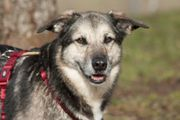 Moffy 7 Jahre 8 Monate - Schäferhund-Mix