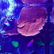 Montipora Platte Orange Rot Korallenableger