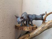 Sphynx Kitten reinrassige Canadian Sphinx