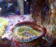 Meerwasser Min Max Anemone bunt