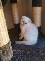 Scottish Fold 1 Kitten
