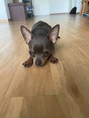 Wunderschöner seltener blue tan Chihuahua