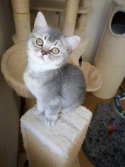 Sehr süßer BKH Kätzchen