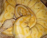 Python regius - Zuchttiere - Königspython