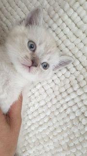babykatzen reinrassig bkh colorpoint Teddy