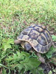 Weibl Griechische Landschildkröte Pia sucht