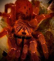 0 1 Pterinochilus murinus rcf