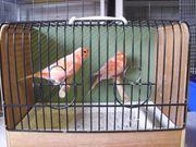 Kanarienvögel rot Kanarien
