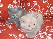 Sensationell Britisch Kurzhaar BKH Katzen