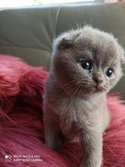 BKH katzen Kitten Babykatzen Mix