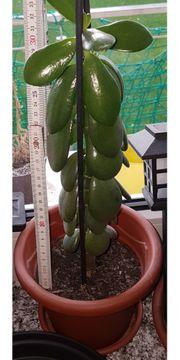 Über 30 cm selbstgezogener Pfennigbaum