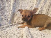 Chihuahua Welpen Mini
