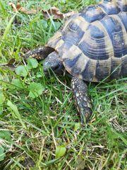 Schildkröte männlich 13 Jahre
