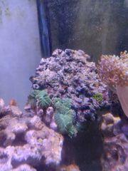 8 grüne Scheibenanemonen Meerwasser