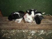 Meerschweinchen Babys und Kastrate abzugeben